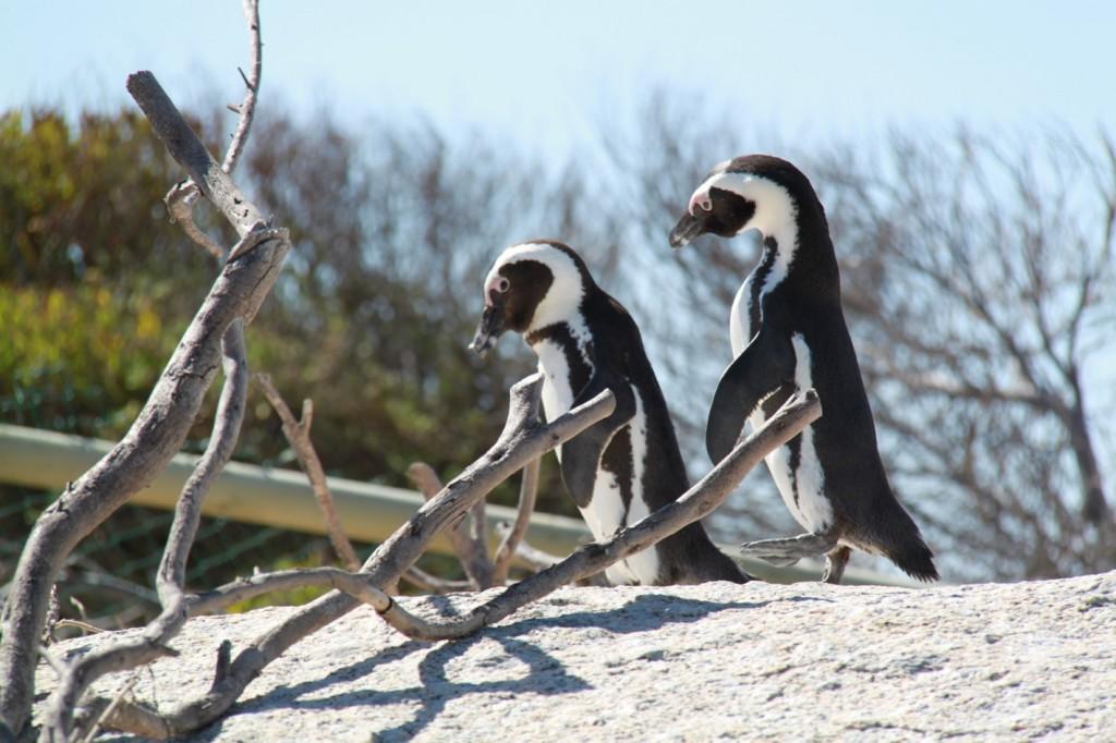 Gerla de Boer Boulders beach penguins